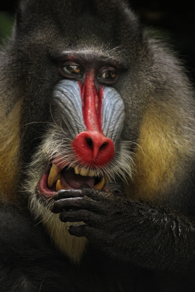 Photograph Mandrill by toonman blchin on 500px