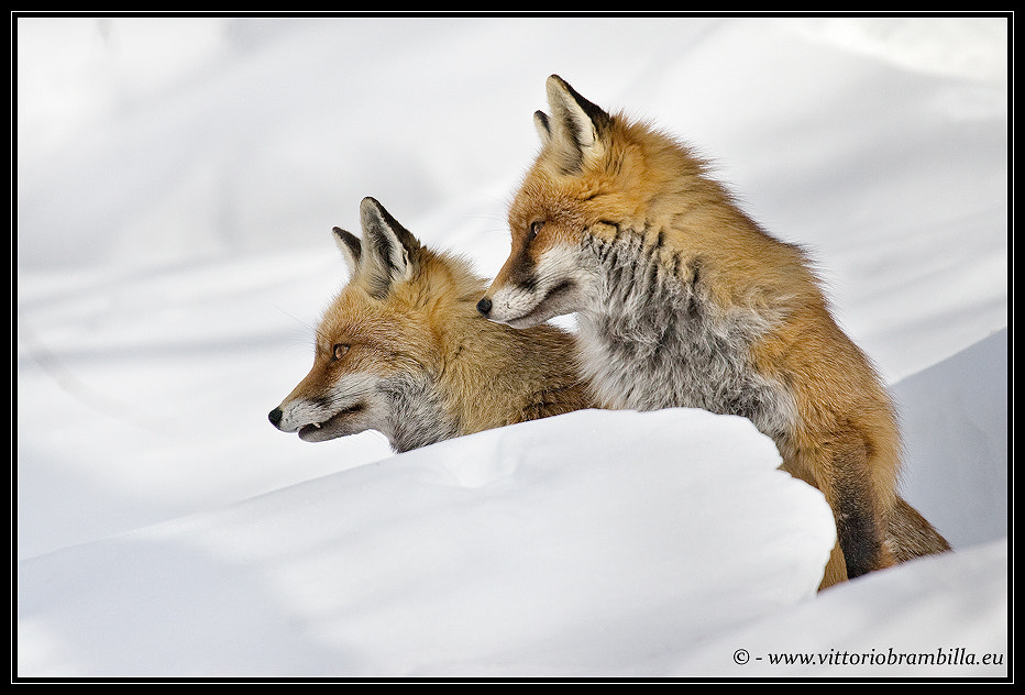 Photograph pair foxes by Vittorio Brambilla on 500px