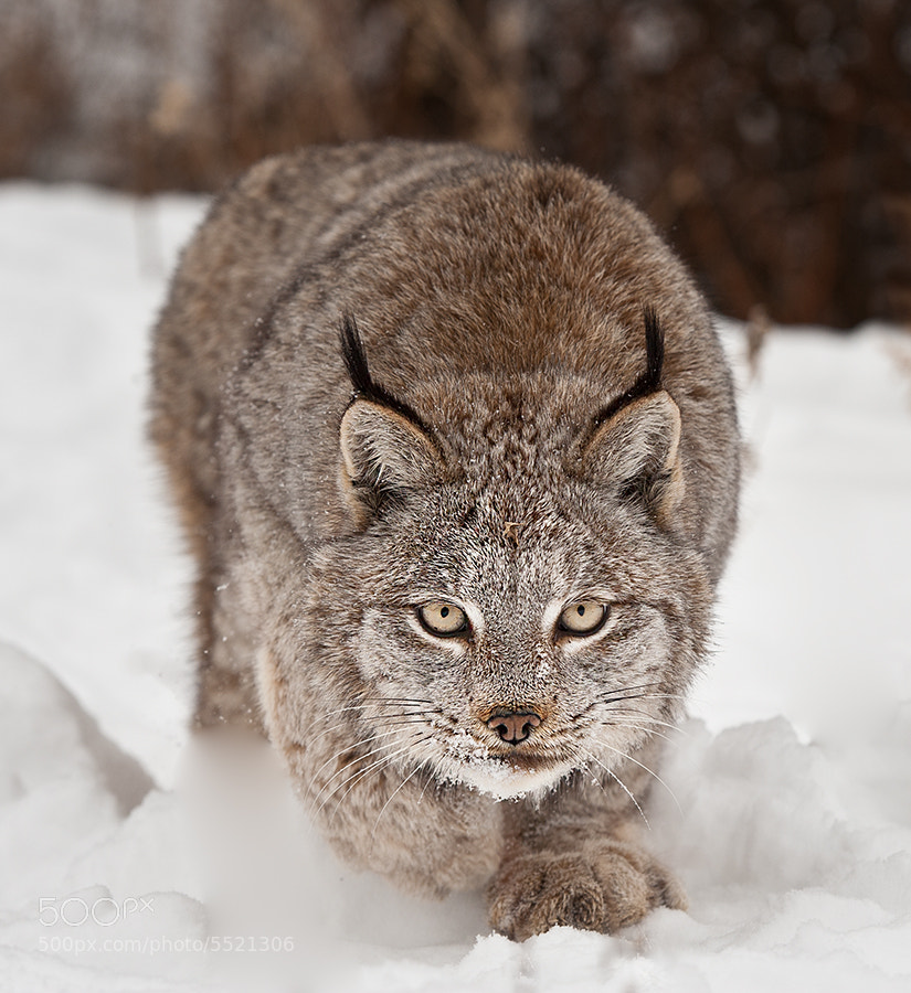 Angie the Canadian Lynx - The Cat Family Inspiring Photography