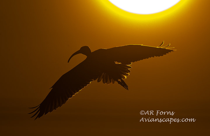 Photograph Ibis in gold  by Alfred Forns on 500px