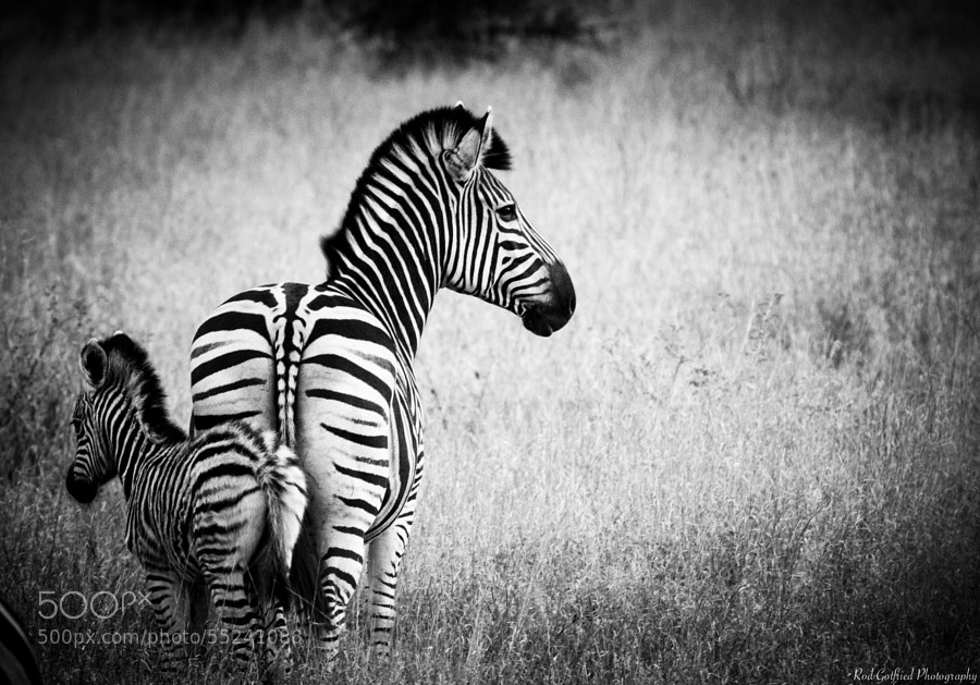 Zebra Generation