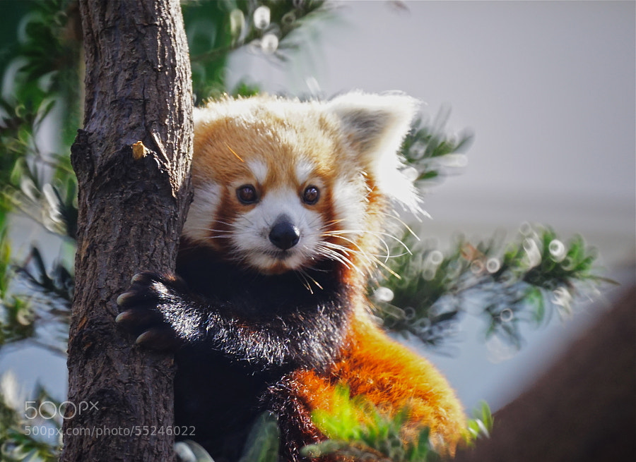 Photograph Red Panda by Sim  Kim Seong on 500px