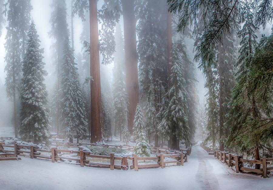 Sequoia Trees California