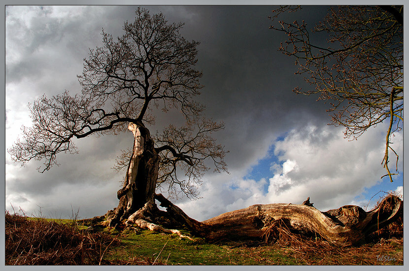 Photograph Blasted Oak by Terry Cowlishaw on 500px