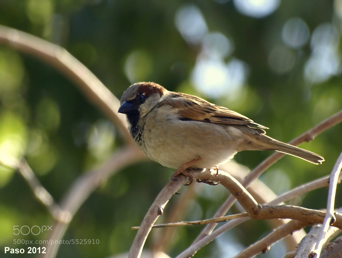 Photograph Passer domesticus by Oly_21 on 500px