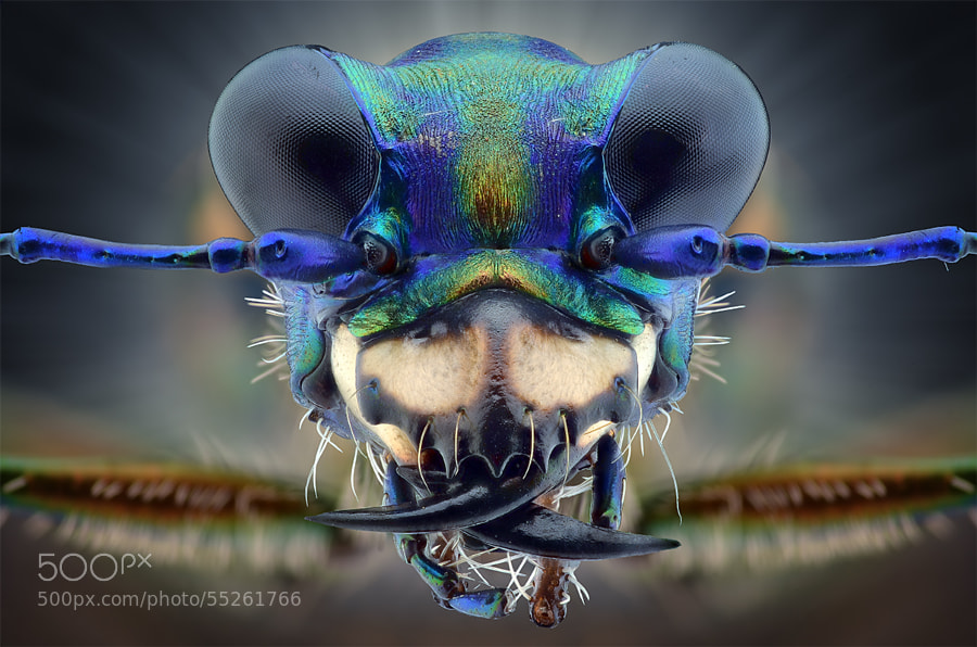 Photograph TIGER BEETLE by Yudy Sauw on 500px