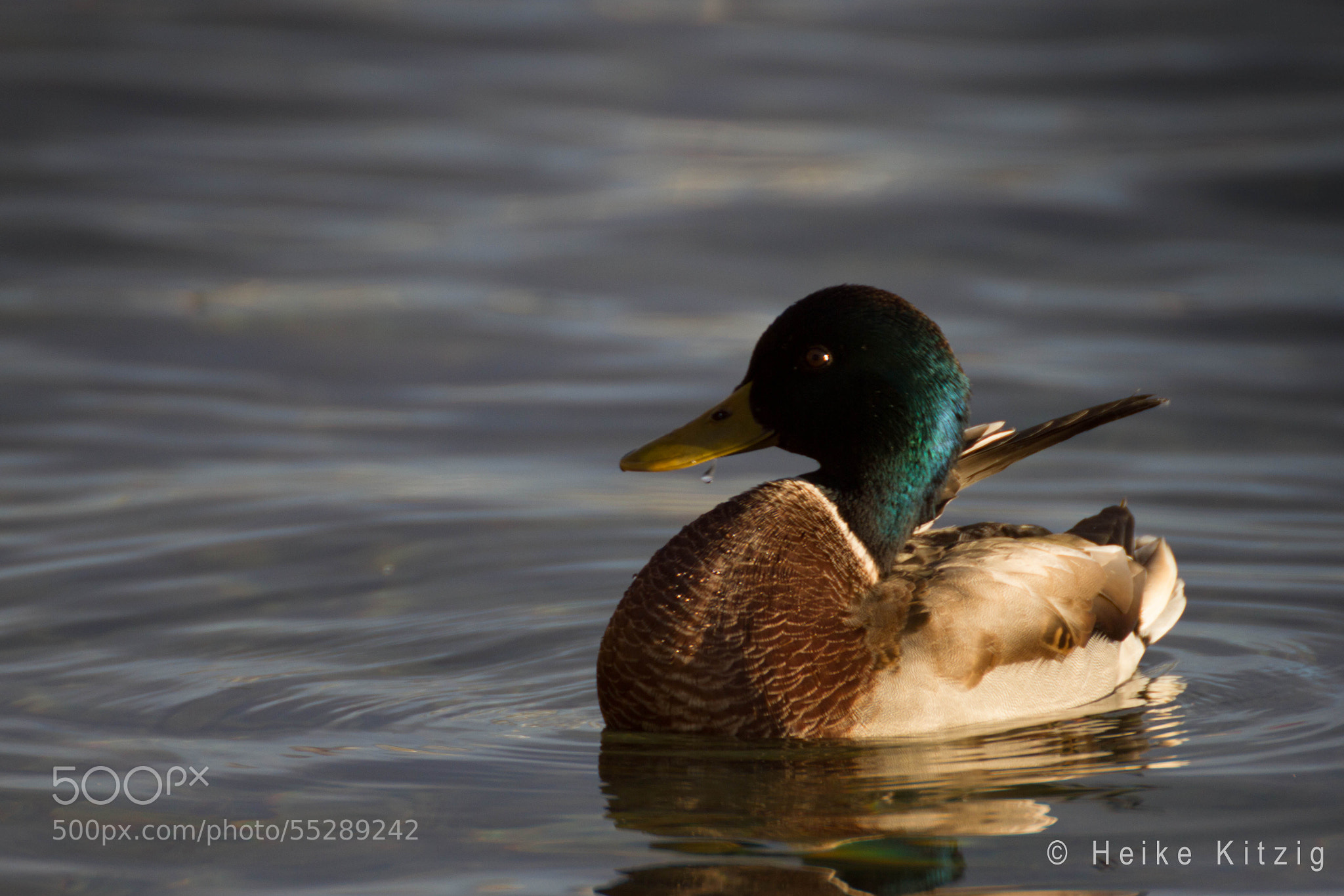 Photograph Wild duck Lake Constance 2 by Heike Kitzig on 500px