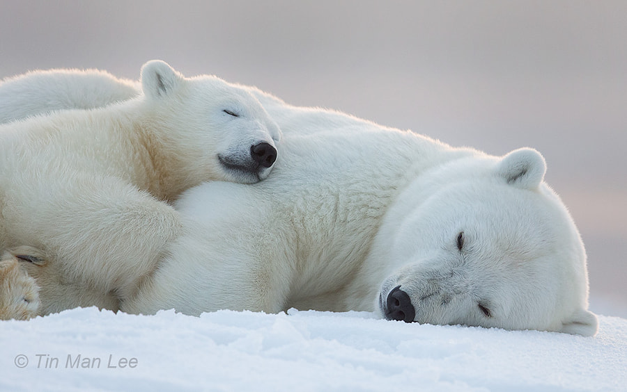 Photograph Goodnite Polar Bears by Tin Man on 500px