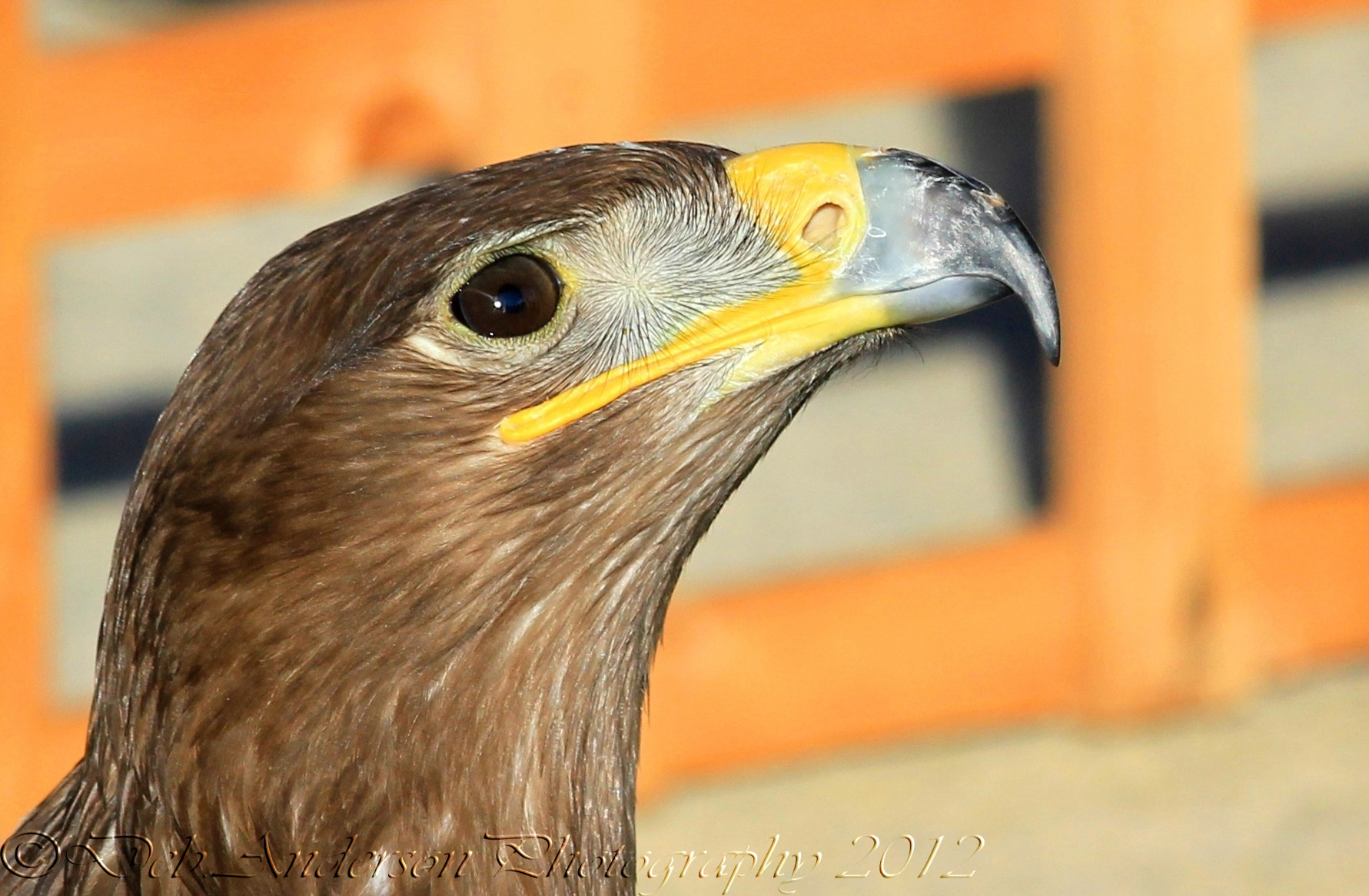 Photograph Steppe Eagle up close. by Deborah Anderson-Marland on 500px