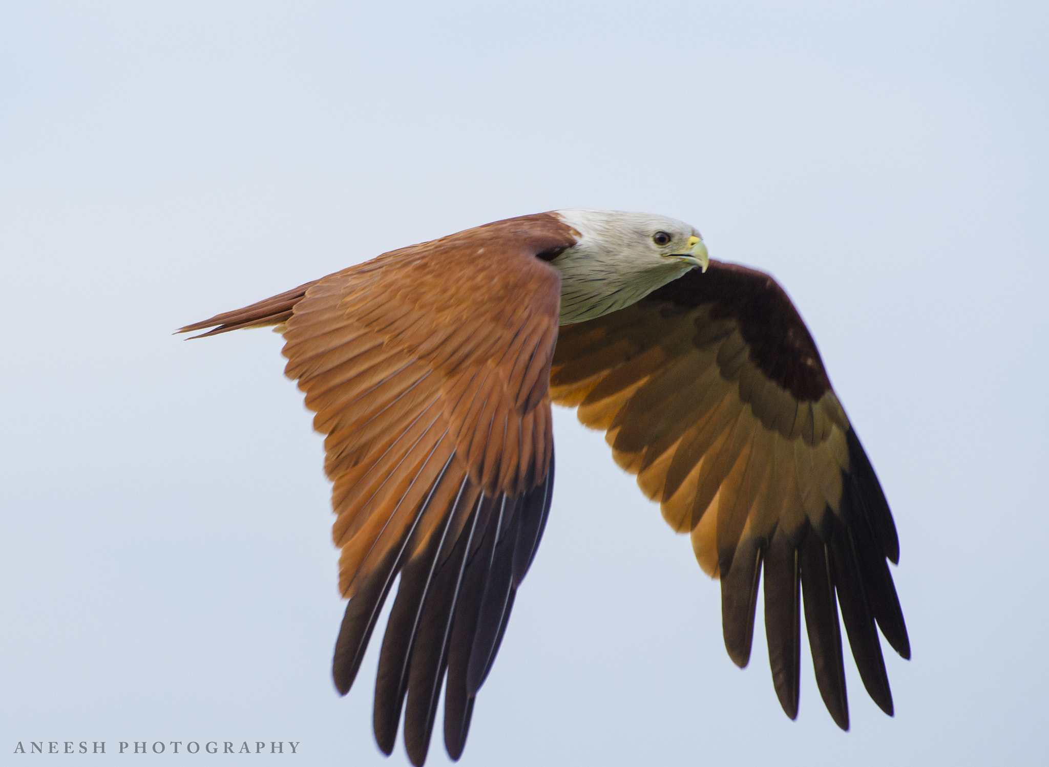 Photograph Brahminy Kite by Aneesh BR on 500px