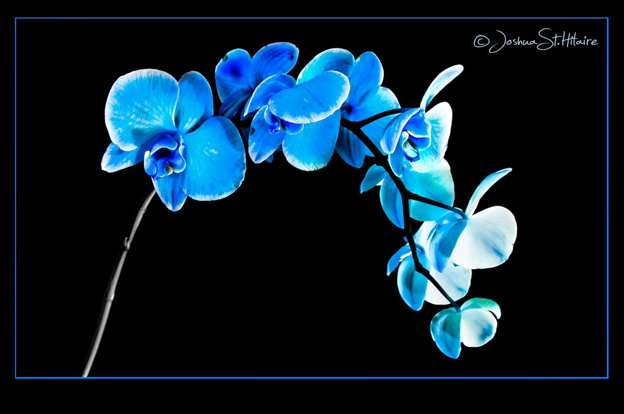 Photograph Blue Orchid by Joshua St. Hilaire on 500px