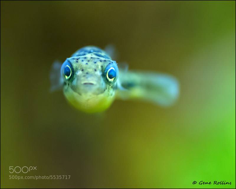 Photograph dwarf freshwater puffer fish by gene rollins on for Fresh water puffer fish