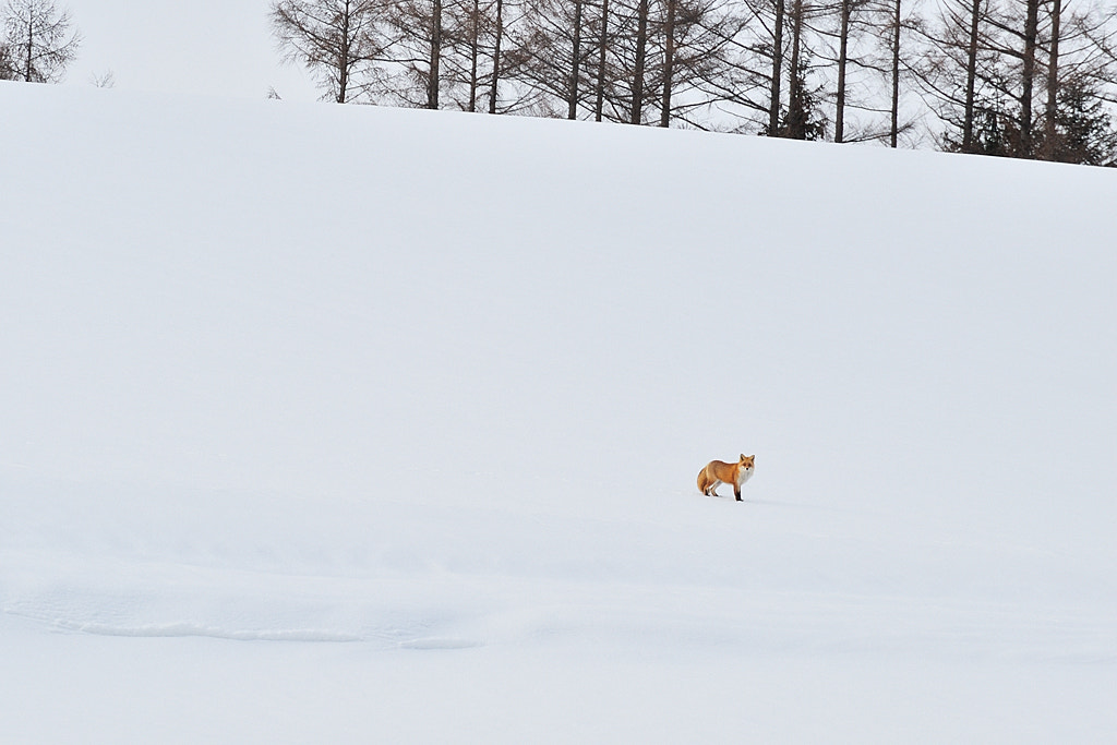 Photograph Mr.Fox met on March 4. by Kent Shiraishi on 500px