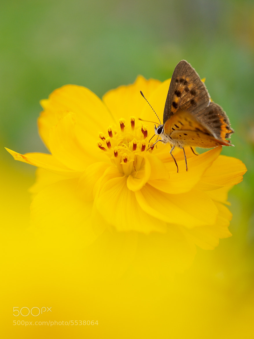 Photograph Small copper by akashiro kiiro on 500px