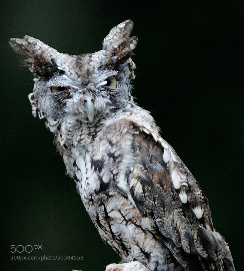 If the Grinch were an owl, I'm pretty sure he'd look like this...