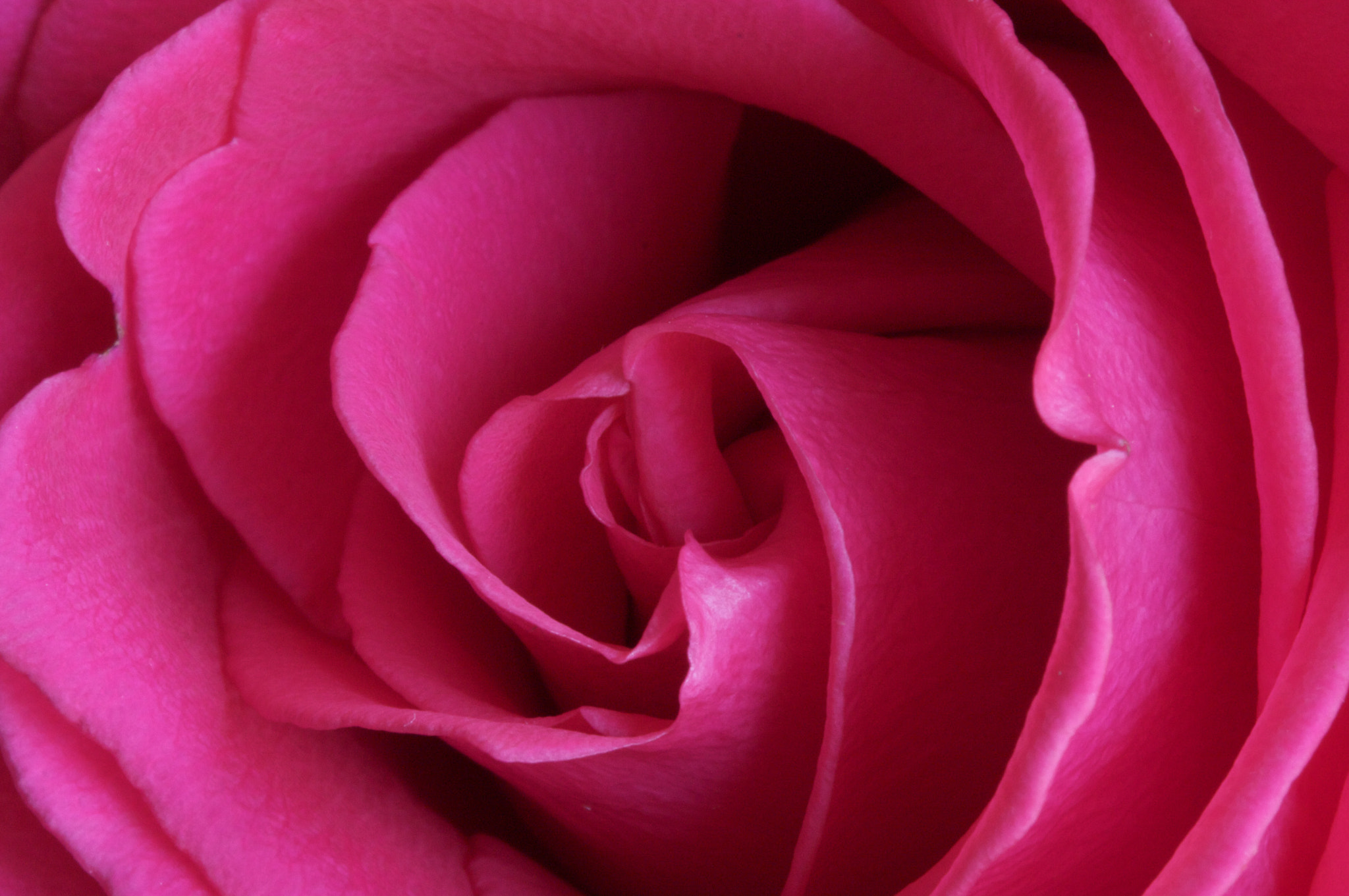 Photograph Red Rose by Rob Leavoy on 500px
