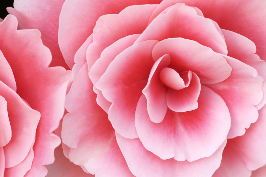 Pink Begonias by Dean Pennala on 500px.com