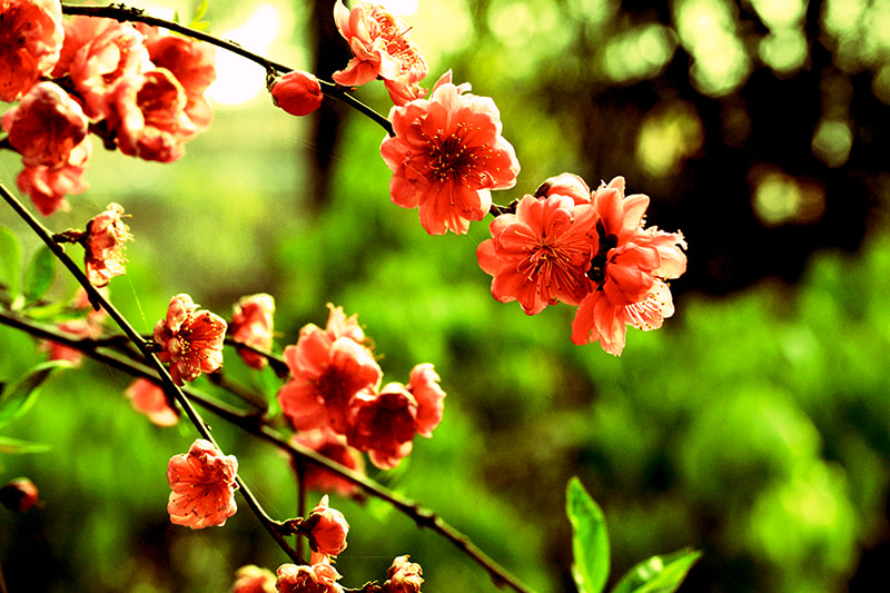 Photograph Cross Process Cherrie Blossom by Ankit Gurung on 500px