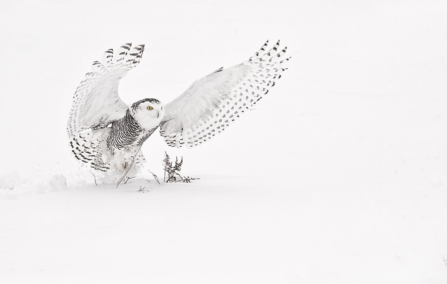 500px.comのKevin PepperさんによるSnowy Owl