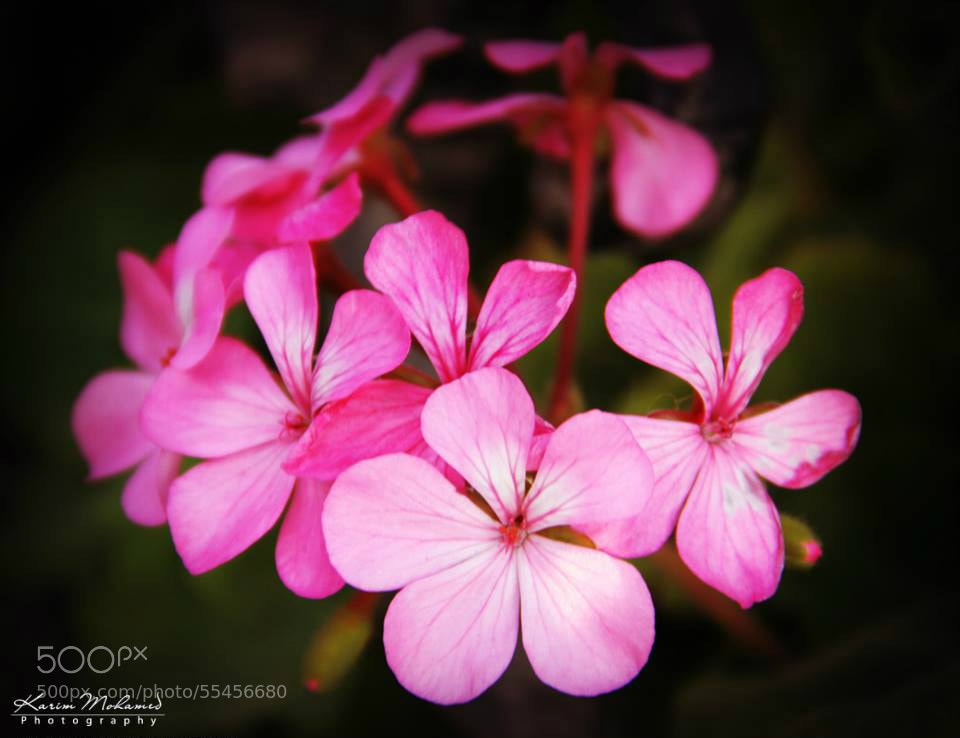 Photograph Flowers by Karim Mohamed on 500px