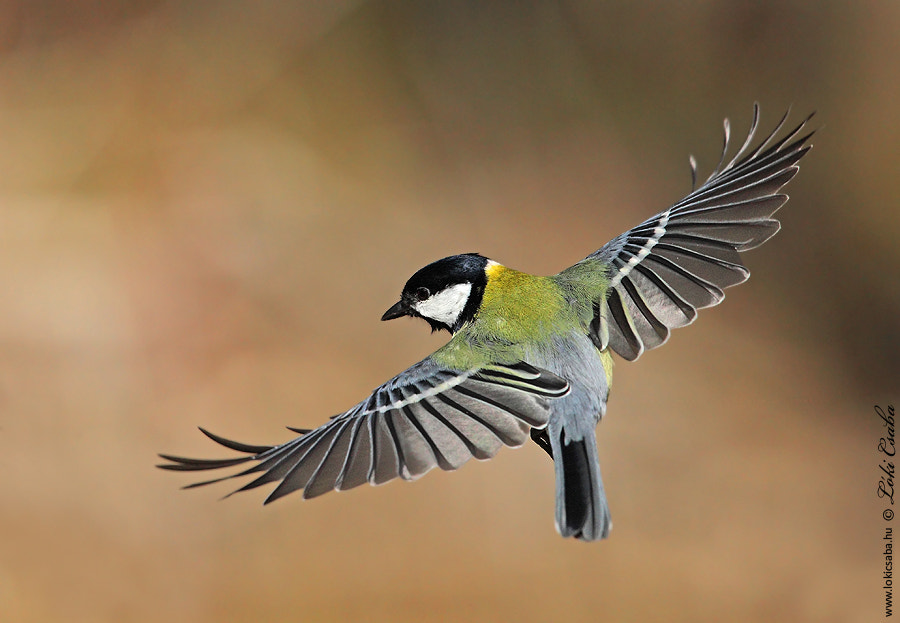 Photograph Great Tit by Csaba Lóki on 500px
