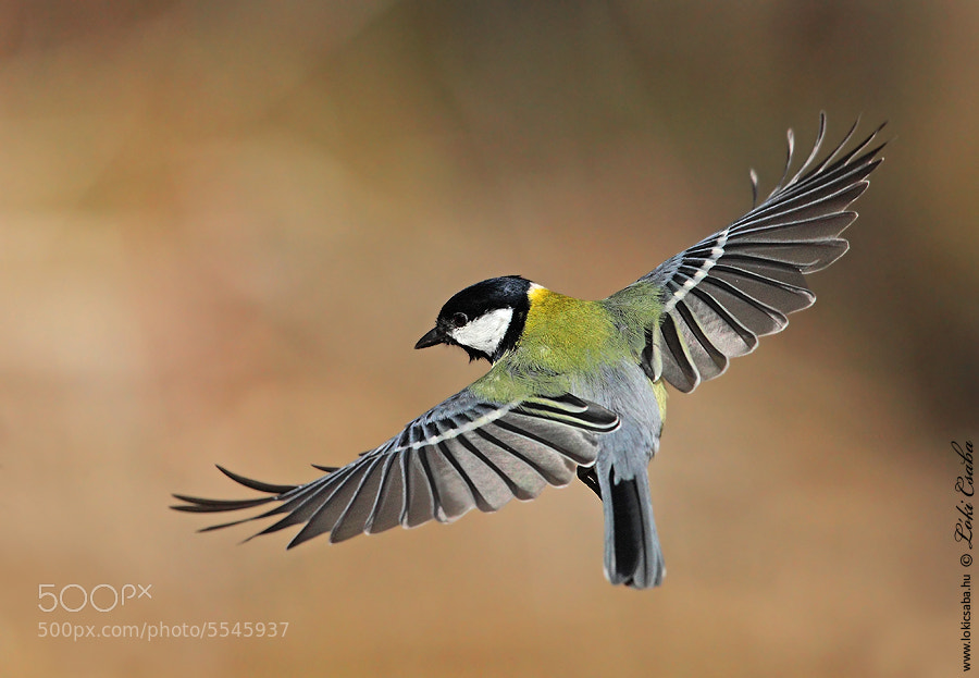 Photograph Great Tit by Csaba Loki on 500px