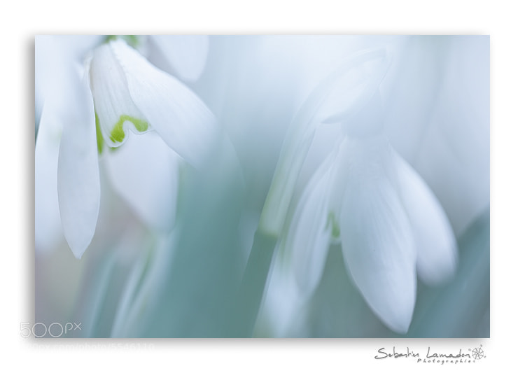 Photograph Spring white by Sébastien Lamadon on 500px