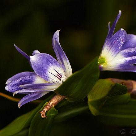 Dendrobium Victoriae reginae