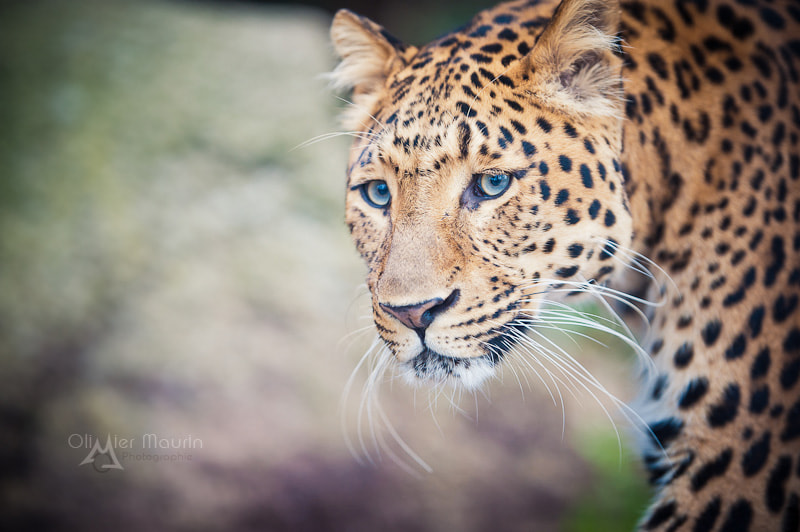 Photograph Panther China by Olivier Maurin on 500px