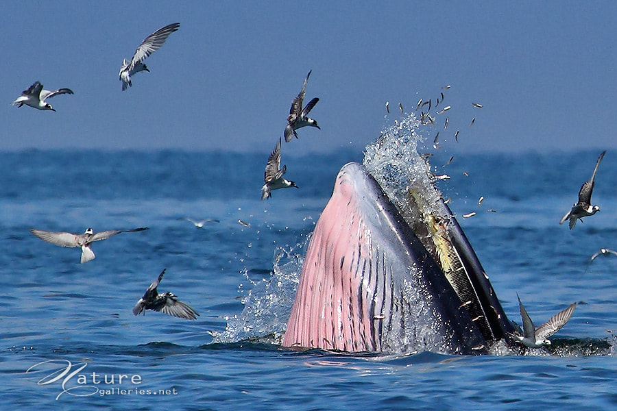 Photograph Bryde's-whale by Sasi - smit on 500px