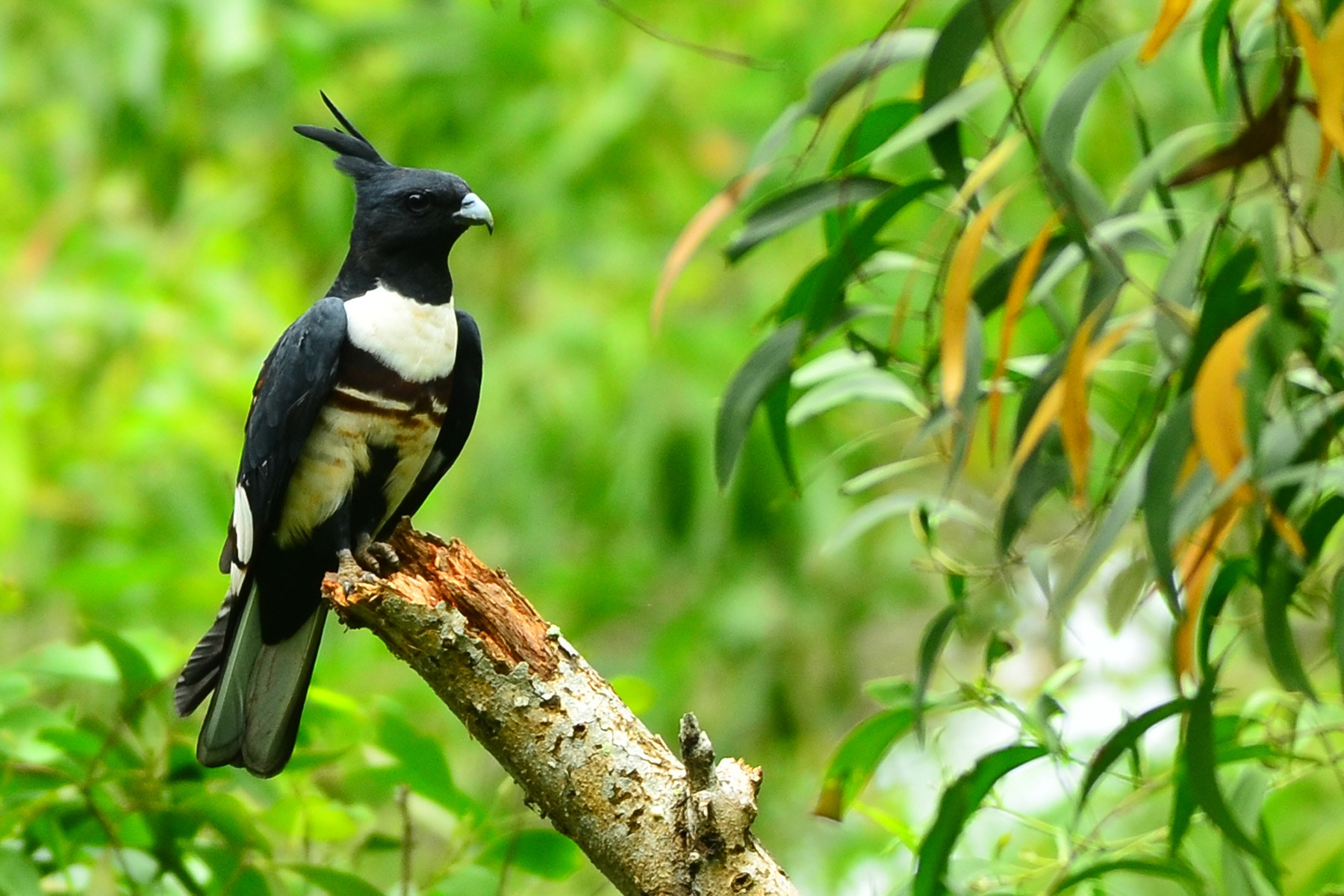 Photograph Black Baza by Gerry Geronimo on 500px