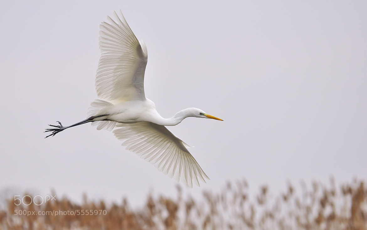 Photograph Flying Great Egret by Csilla Zelko on 500px