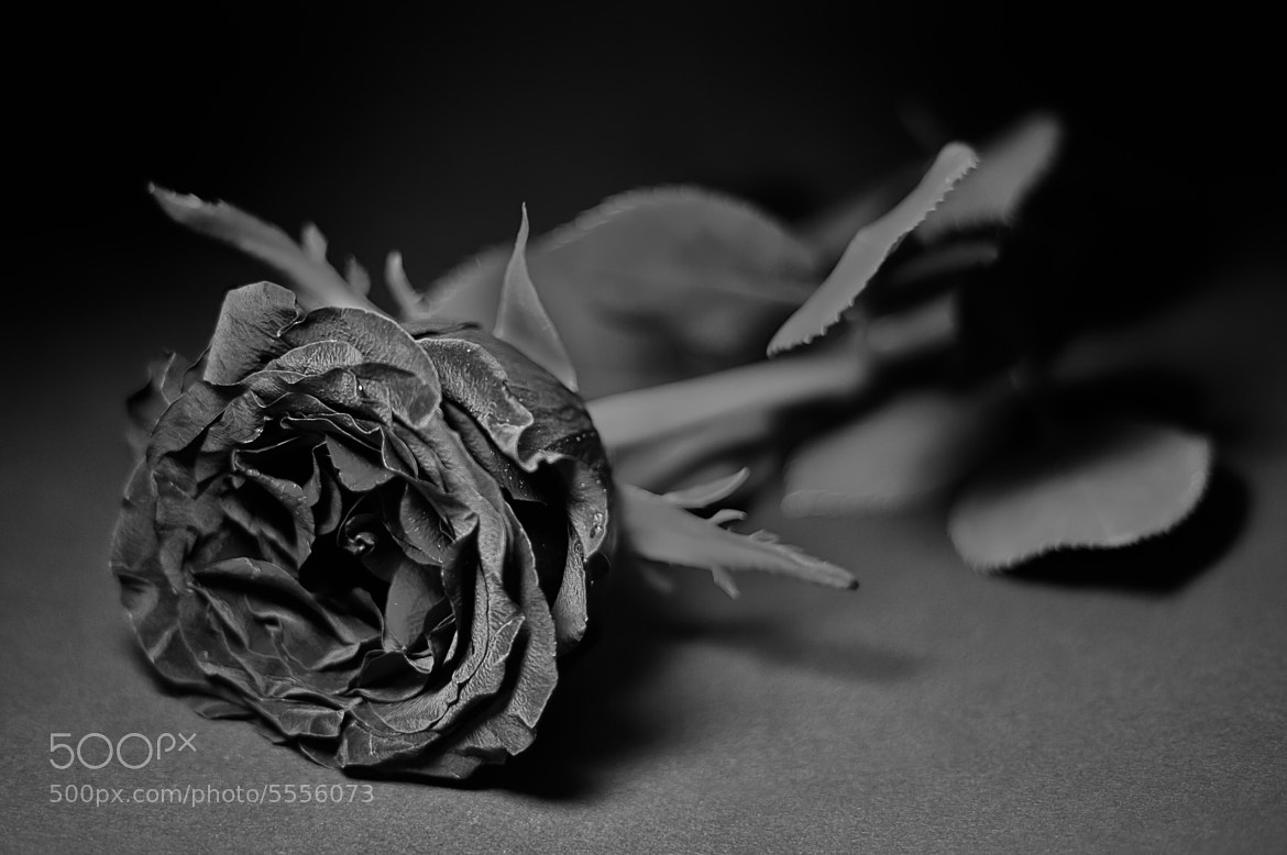 Photograph Black Rose by Stanley Azzopardi on 500px