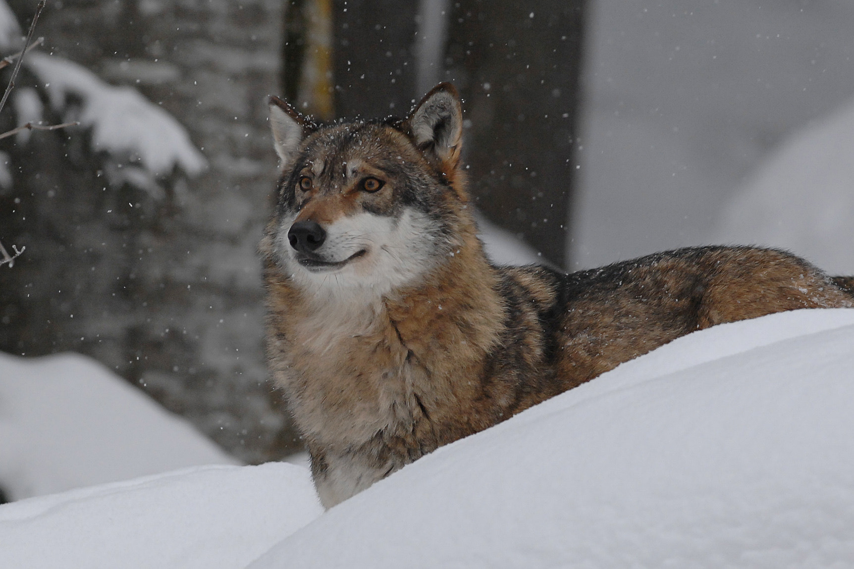 Photograph Wolf from Bavarian by Laszlo Somosi on 500px