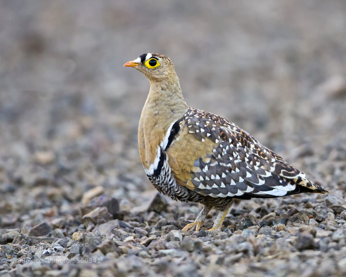 Photograph Double-banded Sandgrouse by Clive Wright on 500px