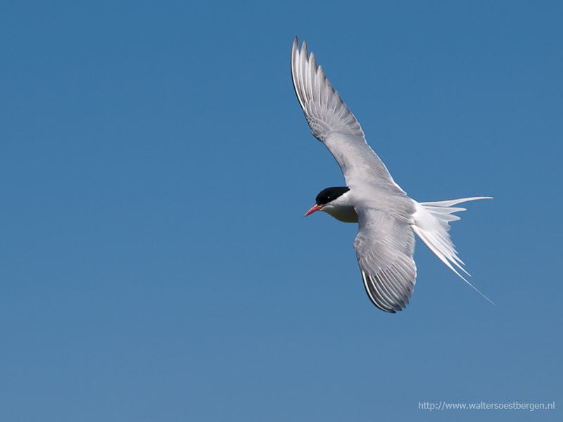 Photograph Tern by Walter Soestbergen on 500px