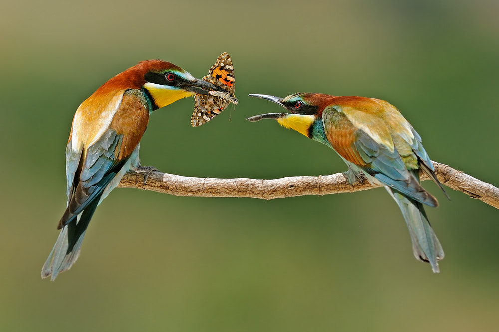 Photograph Bee Eaters. by David Daniel on 500px