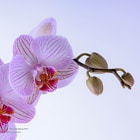 ������, ������: Orchid 2