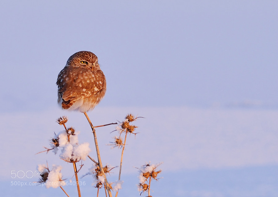 Photograph Little owl and snow by Dûrzan Cîrano on 500px