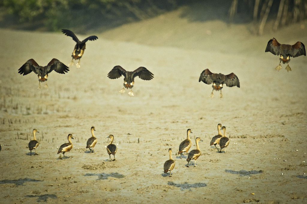 Photograph Wild Geese by Bharath Kalyan on 500px