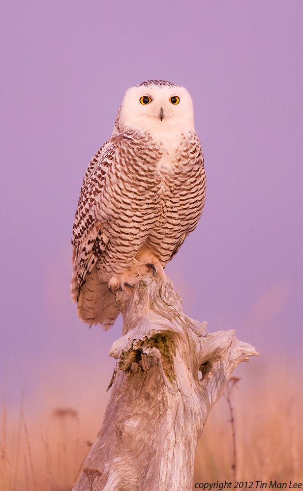 Photograph Snowy Owl at Dawn by Tin Man on 500px