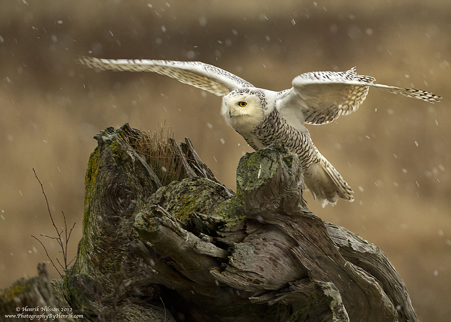 Photograph Flurries by Henrik Nilsson on 500px