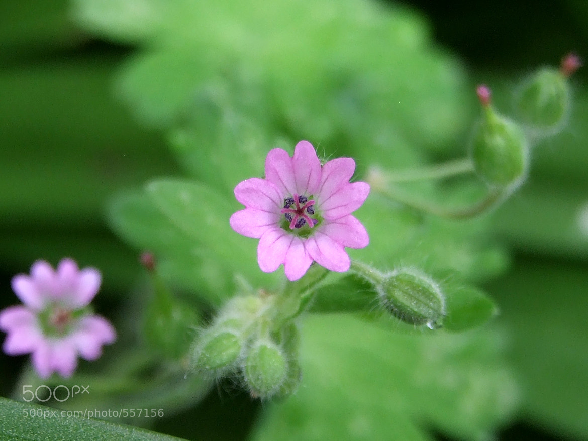 Photograph Pink flower by Mel Mel' on 500px