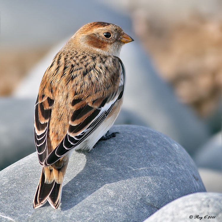 Photograph Snow Bunting by Roy Churchill on 500px