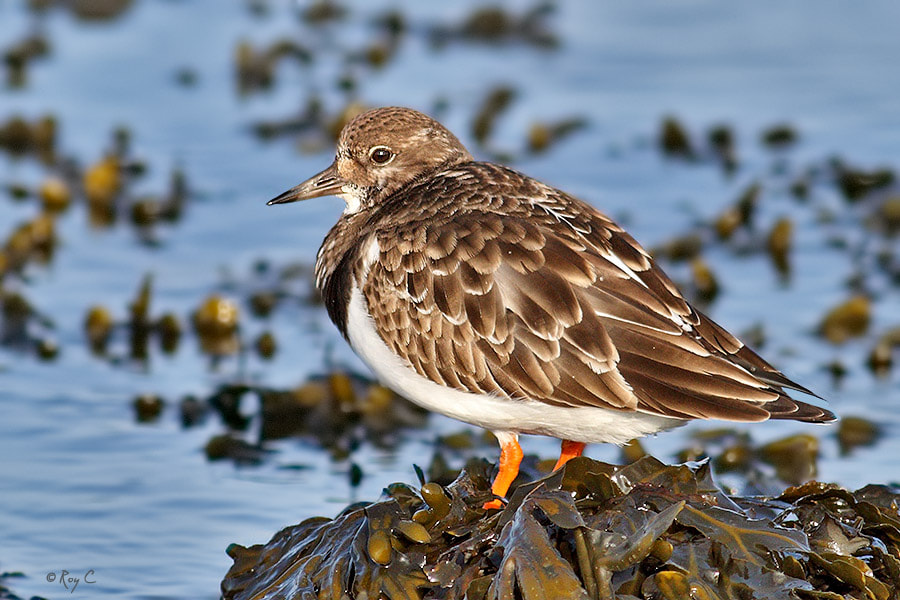 Photograph Turnstone by Roy Churchill on 500px