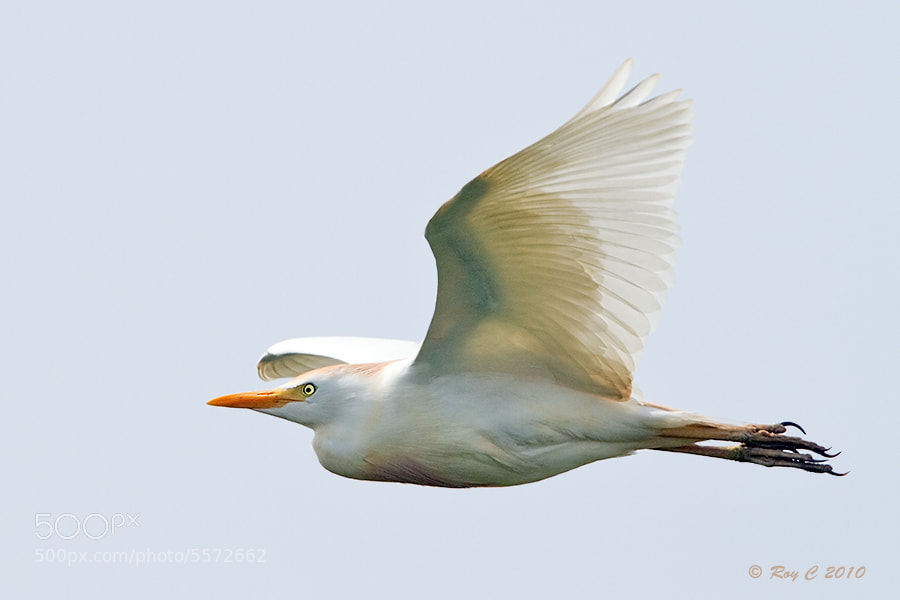 Photograph Cattle Egret by Roy Churchill on 500px