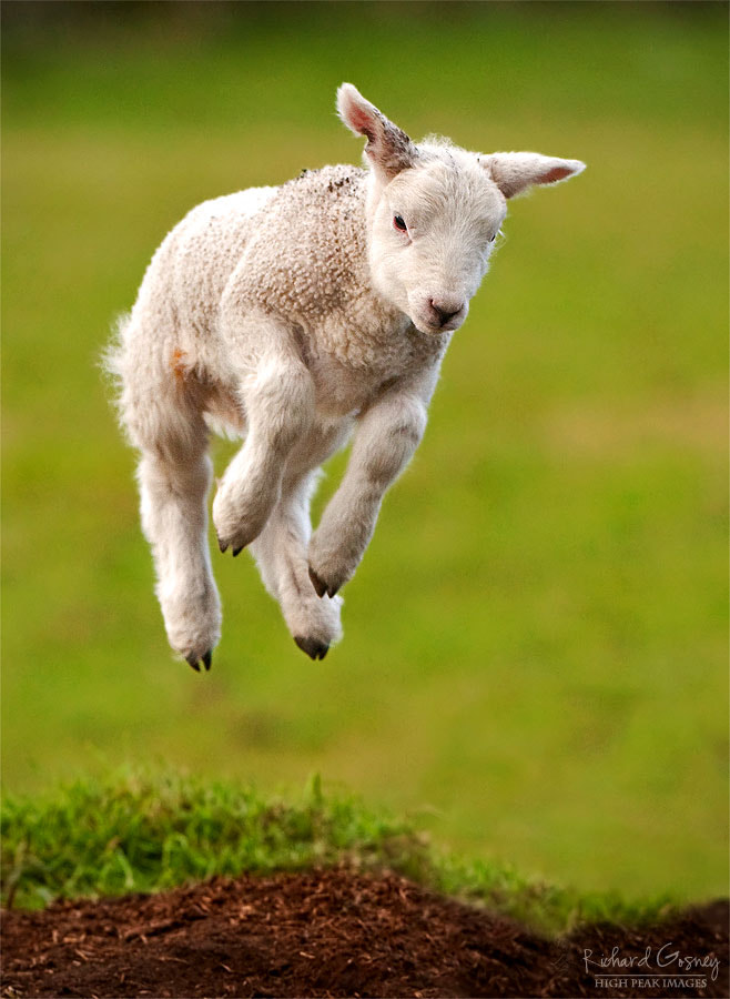 Photograph The Lambs Gambol. by Richard Gosney on 500px