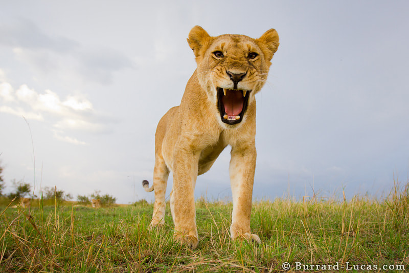Photograph Lioness Roar by Will Burrard-Lucas on 500px