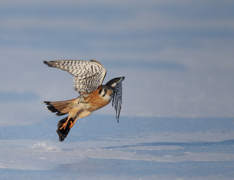 Photograph american  kestrel by peter  makuch on 500px