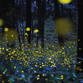 Firefly by Tsuneaki Hiramatsu (minoltan)) on 500px.com